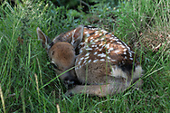 Spotted in the long grass. Baby deer hidden by its mother in long grass in the Wicklow mountains, Ireland.
