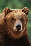 Image portrait of a brown bear (Ursus arctos) by Randy Wells