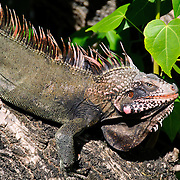An inguana sits on a tree branch on St. John in the US Virgin Islands. Iguanas are common all over the island.