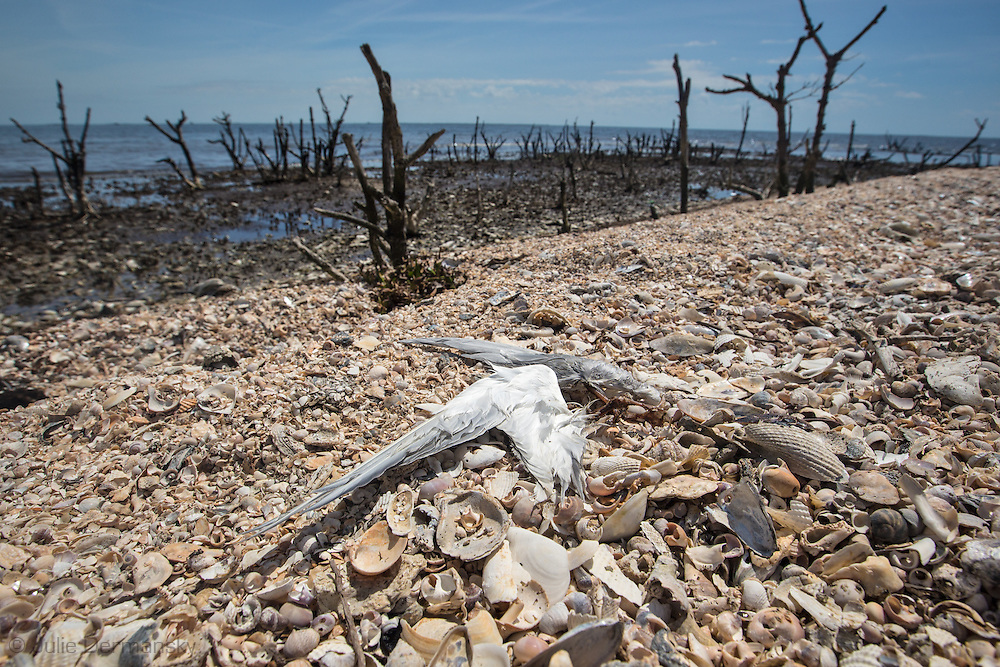 March 31, 2015,  Five years after the BP oil spill, Cat Island, a barrier island in Plaquemines Parish, that was home to a bird rookery before before the BP oil spill, has all but eroded away. <br /> The island was hit heavily with oil from the BP oil spill.