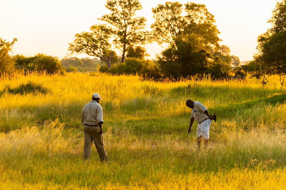 Safari guides tracking a leopard (looking at footprints), Kwara Camp, Okavango Delta, Botswana.