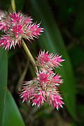 Bromeliad flower, World Botanical Gardens & Waterfalls.at Botanical World, Hamakua Coast, Big Island of Hawaii