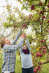 Woman and man laughing and picking apples passionately from a tree in apple orchard, Bavaria, Germany