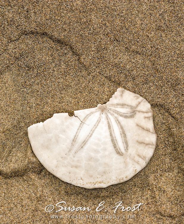 SandDollar on Beach