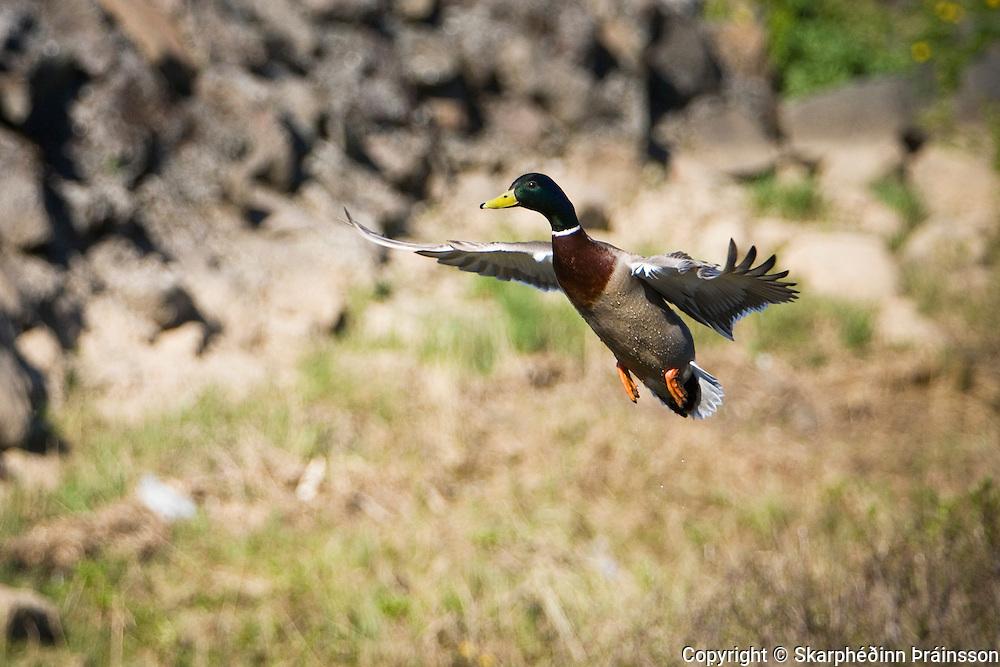 Flying Mallard / Stokkönd