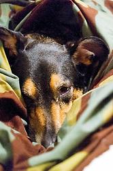 Wallace curled up in an Italian Zelt<br />  02 May 2016<br />  Copyright Paul David Drabble<br />  www.pauldaviddrabble.co.uk