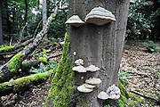 Nederland, Ubbergen, 9-9-2010Paddenstoelen in de heelijkheid Beek. een boomstam vol zwammen, tonderzwammen, geliefd bij Chinezen en andere aziaten.Foto: Flip Franssen/Hollandse Hoogte