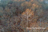 63877-01510 Aerial view of lone Sycamore tree in winter woods Marion Co. IL