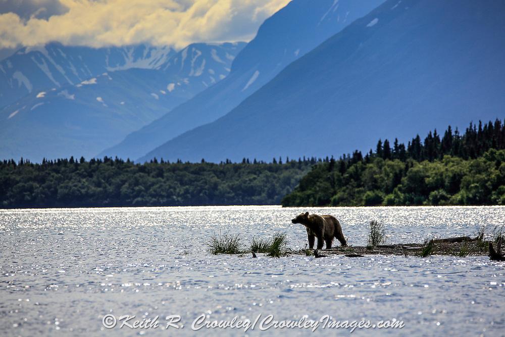 An Alaskan Brown bear stands on a sand spit in Naknek Lake at Katmai National Park.