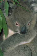 Koala<br />