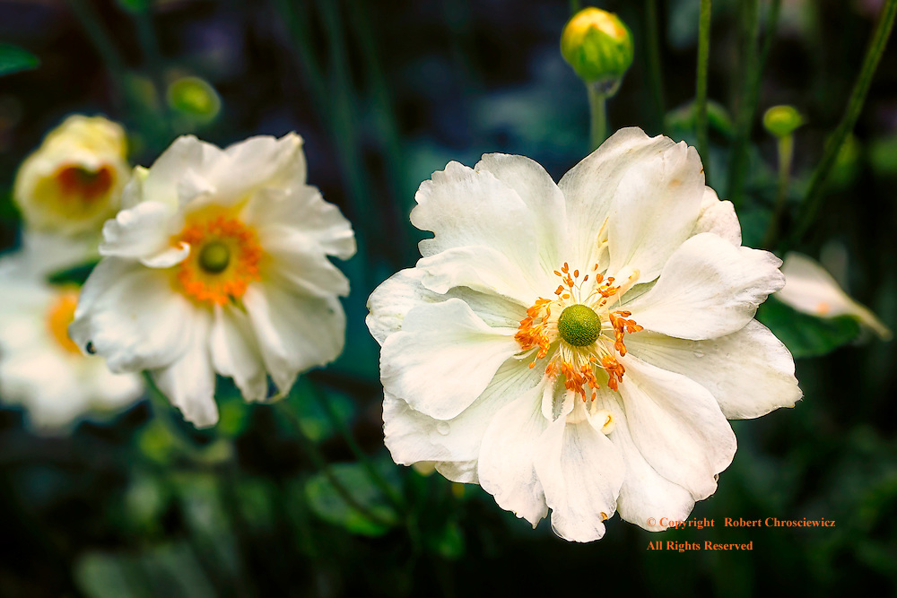 Amines: Blooming, white Japanese Amines brighten Minter Gardens, Rosedale British Columbia Canada.