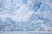 A seagull is dwarfed by the calving face of the Meares Glacier, a tidewater glacier in Prince William Sound near Valdez, Alaska.