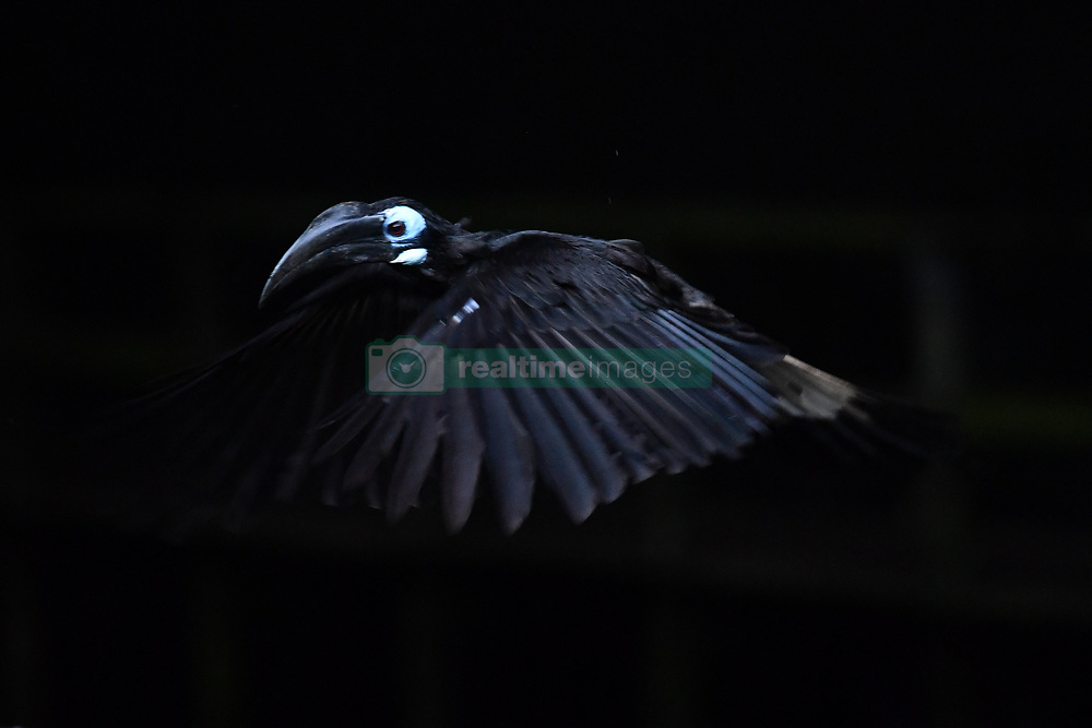 A bushy-crested hornbil is pictured in front of Gomantong Caves access near Kinabatangan River, on August 5, 2019 near Sandakan city, State of Sabah, North of Borneo Island, Malaysia. Photo by Emy/ABACAPRESS.COM