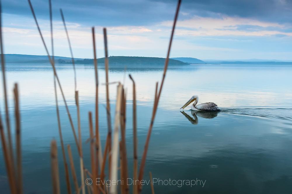 A pelican swimming in a lake