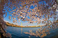 Cherry blossoms, Cherry Tree Walk, Tidal Basin (Washington Monument in background), Washington D.C., U.S.A.
