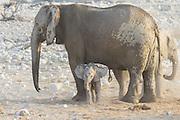African Elephant <br /> Loxodonta africana<br /> Young calf resting against female<br /> Etosha National Park, Namibia