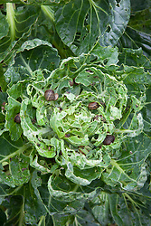Snails decimating the foliage of brussel sprouts