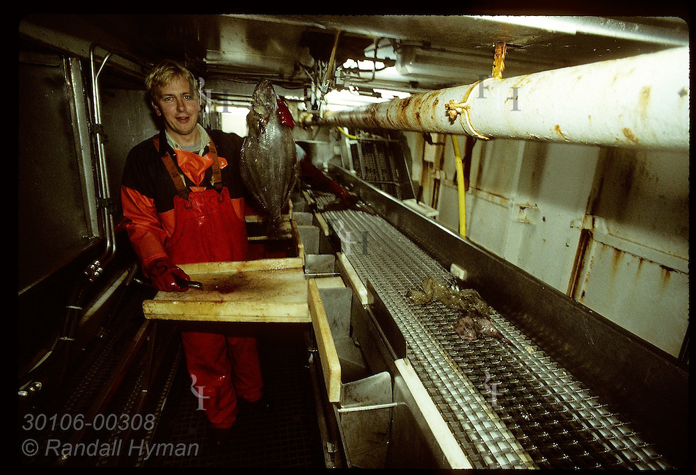 Fisherman works below deck aboard Icelandic trawler gutting fish just caught off the West Fjords. Iceland