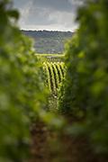 View of vineyards on hills, Ville-Dommange, France