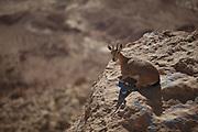 juvenile Nubian Ibex (Capra ibex nubiana). Photographed at Mitzpe Ramon, Negev, Israel in November