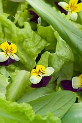 Edible viola flowers in salad