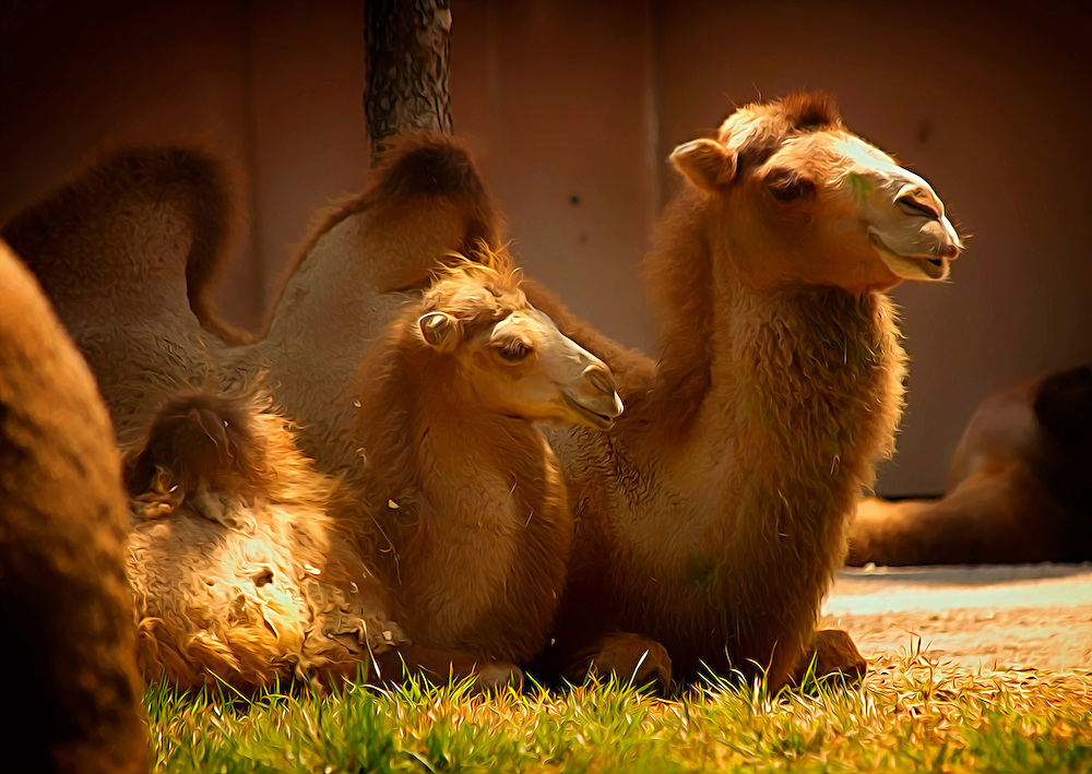These beautiful Bactrian Camels can be found just hanging out on at the Saint Louis Zoo.