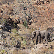 African elephant. Mapungubwe National Park and World Heritage Site, Leokwe Camp, South Africa, September 2009, Organization for Tropical Studies Trip.