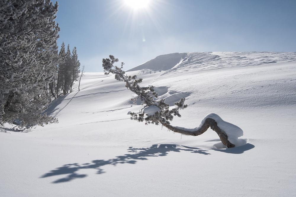Lone Pine, Hayden Valley