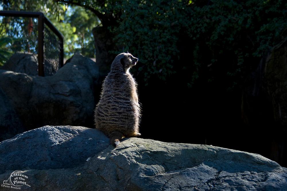 Meerkats (Suricata suricatta), Los Angeles Zoo, Griffith Park, Los Angeles, California