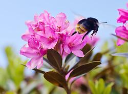 04.07.2011, Kitzsteinhorn, Kaprun,THEMENBILD: ALPENROSE, im Bild mehrere Alpenrosen, die bekannte Alpenpflanze wird auch als Almrausch, Almenrausch oder Steinrose bezeichnet. eine Hummel sucht nach Nektar // FEATURE: ALPENROSE, several rhododendrons in the picture, the famous alpine plant is also known as rhododendron, Almenrausch or Rockery. a bumblebee looking for nectar, EXPA Pictures © 2011, PhotoCredit: EXPA/ J. Feichter