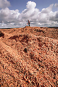 Culled carrots are used for cattle feed at Don Smith's Sun-Gro drying operation on an unused airport runway. Famoso, California (near Bakersfield). USA.