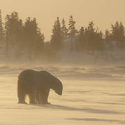 Polar Bear (Ursus maritimus) near Cape Churchill, Manitoba, Canada in the winter.