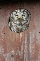 Tengmalms owl (Aegolius funereus) peering out of nestbox,  Bergslagen, Sweden.