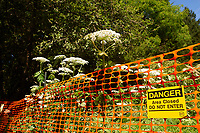 BC Parks warning sign for Giant Hogweed (Heracleum mantegazzianum), Gabriola, British Columbia, Canada. Hogweed is a poisonous
