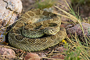 Prairie rattlesnake in Colorado