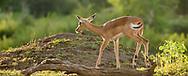 Impala stepping through forested habitat along the bank of the Chobe River, Chobe National Park, Botswana, © David A. Ponton