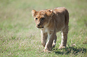 Lion cub walking