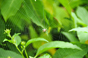 Spider and web on a tea plant Photographed in Darjeeling, West Bengal, India
