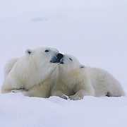 Polar bear mother and cub resting while waiting for the Hudson Bay to freeze. Canada