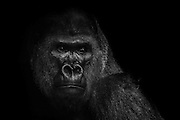 WASHINGTON, D.C. - January 7:  A Gorilla seen in its enclosure at the Smithsonian National Zoo in Washington, D.C. on January 7, 2015. Samuel Corum / Anadolu Agency