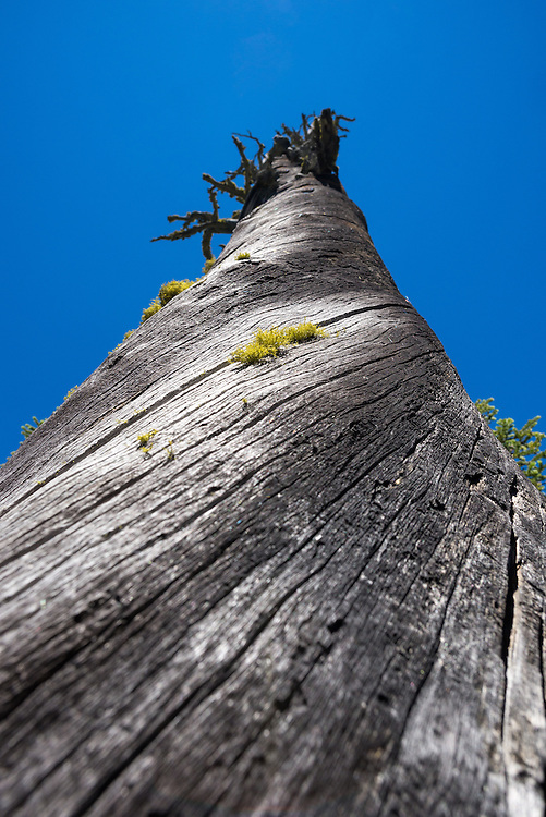 Moss growing on the twisted trunk of a dead tree in Oregon's Wallowa Mountains.