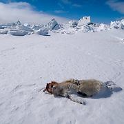 Ringed Seal (Pusa hispida) a baby seal lies dead in the snow. Beaufort Sea, Alaska