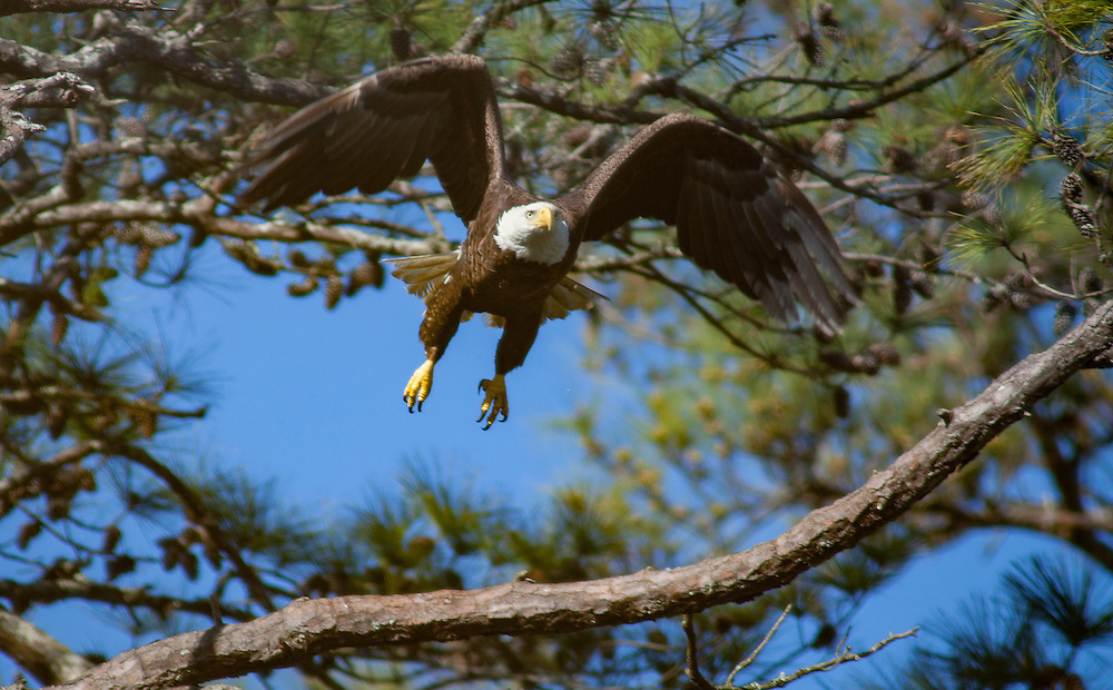 An adult bald eagle - likely Blackie, the father - flies from his perch on a pine limb not far from his nest along the May River. Blackie's nesting spot along the river's headwaters has been preserved, with a buffer of forest, by the developers of Palmetto Bluff, which comprises the some five miles of the river's southern shore and 19,000 acres.