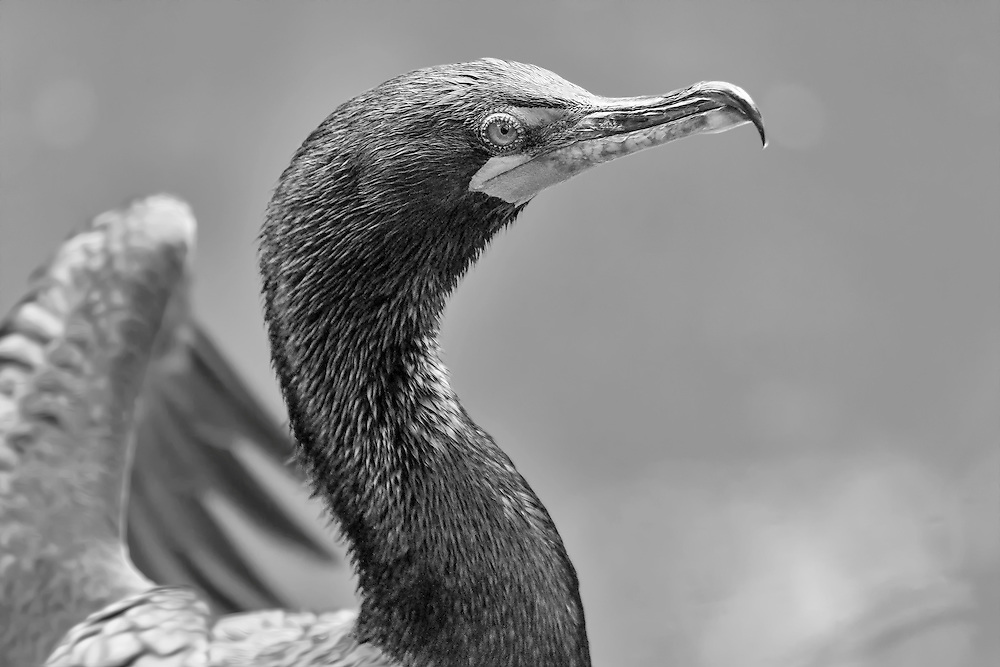 A Double-crested Cormorant In Black and White