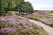 Nederland, Mook, 22-8-2014 Natuurgebied De Mookerheide.Ook bekend om de historische Slag op de Mookerheide op 14 april 1574. De Mookerhei is een natuurgebied ten oosten van Mook in de provincie Limburg. Zij ligt op een uitloper van de Nijmeegse stuwwal. In het zuidelijke deel groeit struikheide die in augustus prachtig bloeit. Foto: Flip Franssen/Hollandse Hoogte