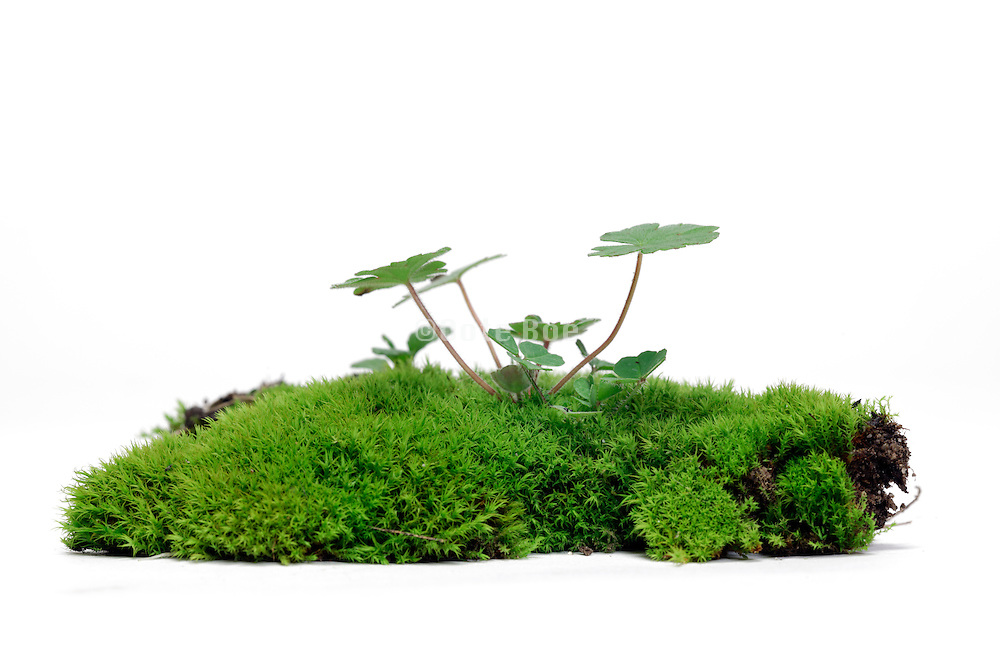 fresh green moss with sprouting young grass