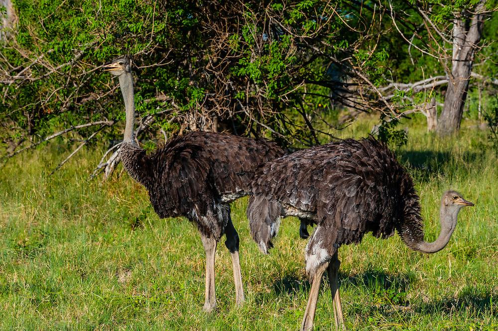 Male ostriches, near Kwara Camp, Okavango Delta, Botswana.