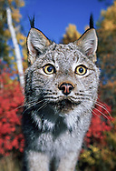 Lynx portrait with autumn background colors. (This animal was born and raised in captivity, photographed in an outdoor setting in Idaho.) © David A. Ponton