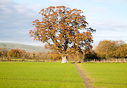 Orange brown oak tree with autumn leaves Woodborough, Wiltshire, England, UK