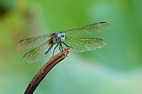 A Dragonfly at the New York Botanical Garden